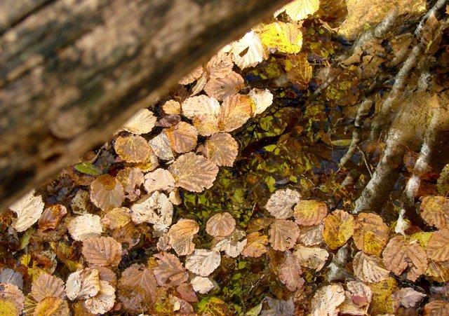 phoca_thumb_l_Leaves-in-Pond.jpg