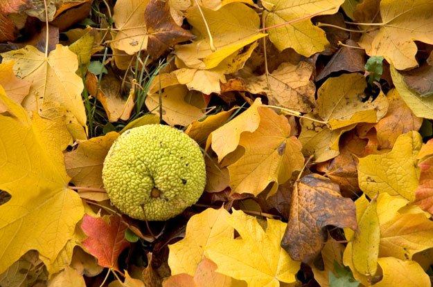 Osage orange in fall leaves.