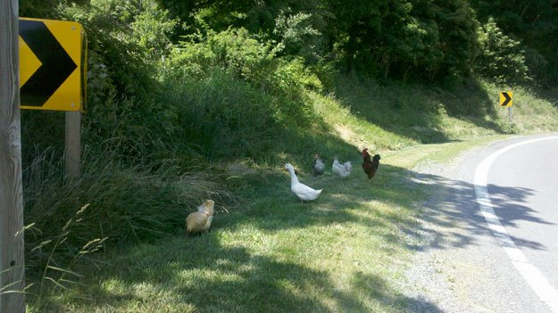 Chickens, Craig County, Va.