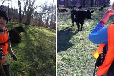 Cows Near Fullhart Knob