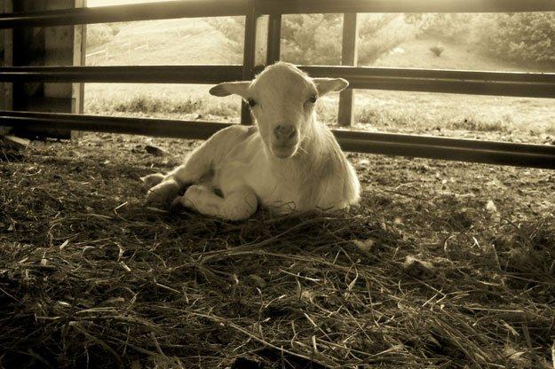 Young Sheep