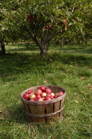revapple-orchard-bushel-basket.jpg