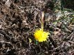 1_12_13-dandelion.jpg