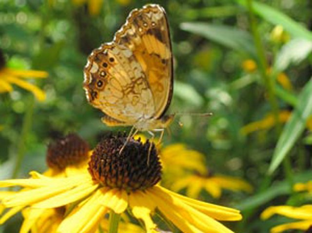 Silver Checkerspot butterfly