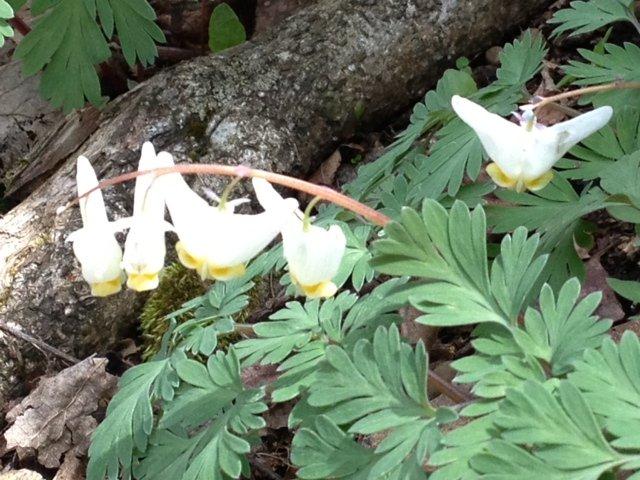 Dutchman's Britches Wildflower