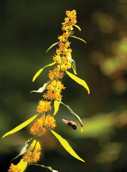 Bumblebee Hovers