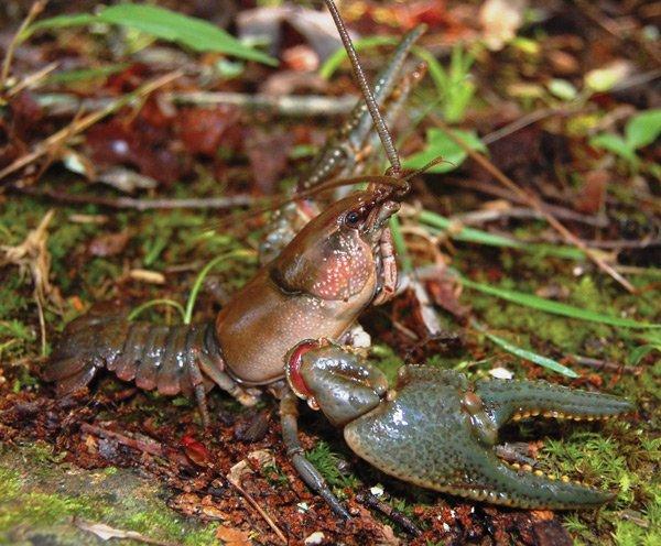 Hazel Creek Crayfish