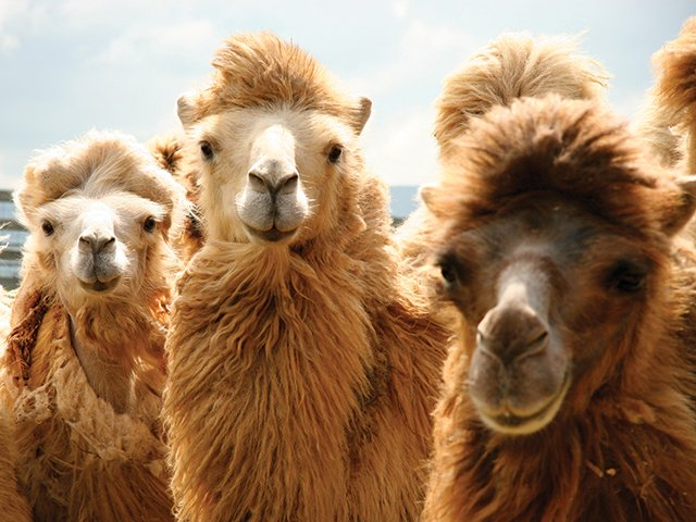 Lost World llamas