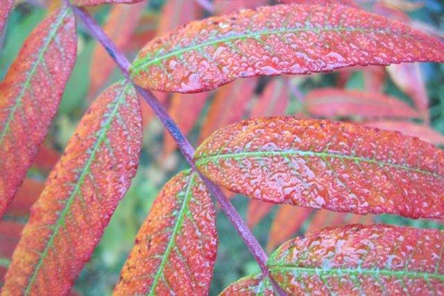 Sumac Foliage