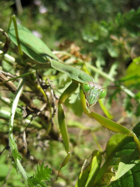 Female Chinese Mantis