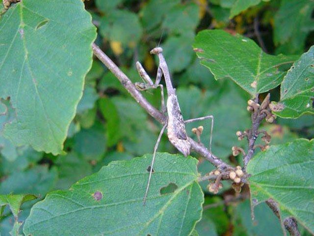 Mantis Garden Leaves