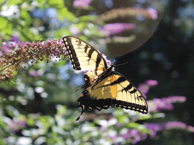 Swallowtail.jpg