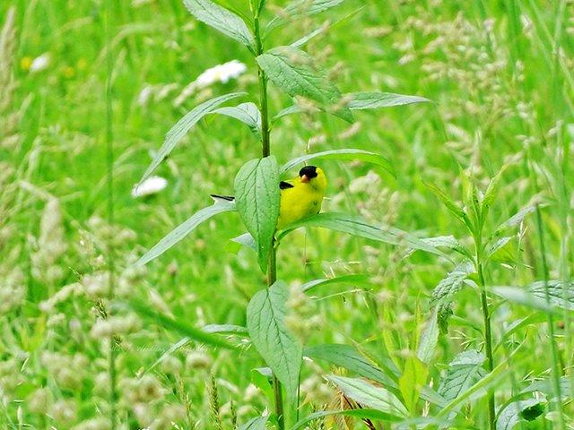 goldfinch061215-1.jpg