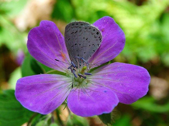 greybutterfly--1.jpg