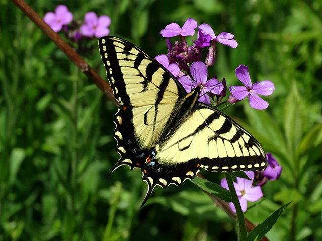swallowtail0518-1.jpg