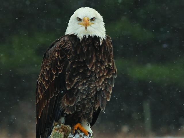 SavingAmerica'sBird.jpg