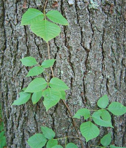 Poison Ivy Climbs Tree