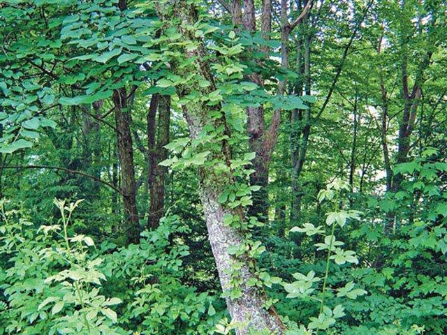 Poison Ivy I