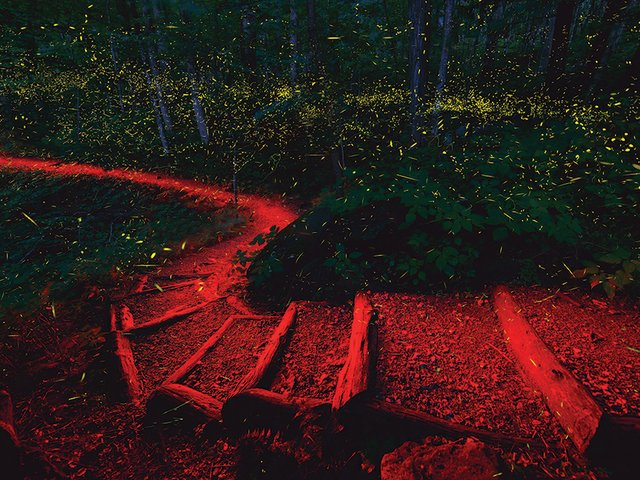 fireflies_Smokies_trail_137781V2.jpg