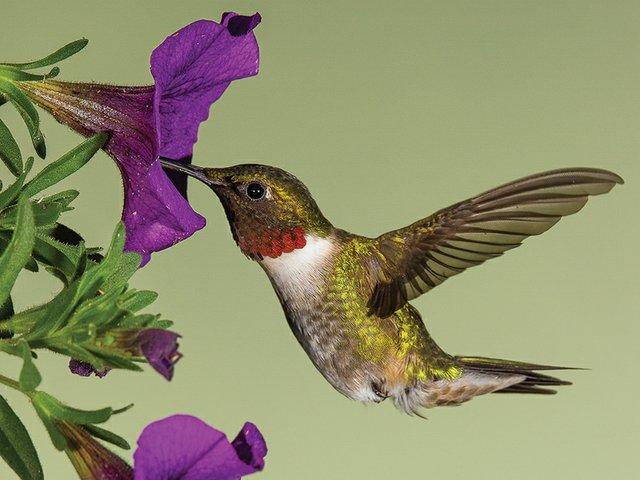 Cuda_Hummingbird-1.jpg