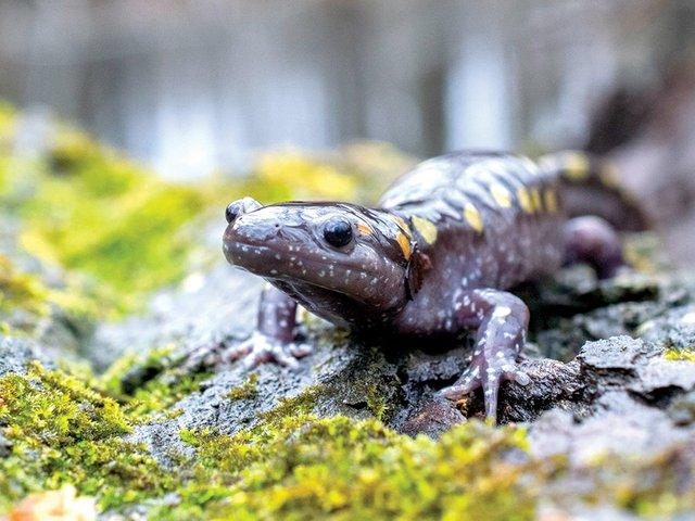 Spotted-Salamander-on-moss-2.jpg