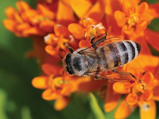 Butterfly-Milkweed-(Asclepias-tuberosa)1.jpg