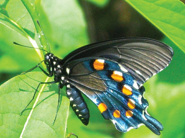 Spicebush-Swallowtail-on-Spicebush-by-Lori-McAlister.jpg