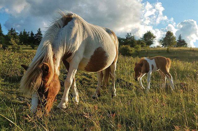 Grayson-Highlands-Ponies---credit-Bob-Diller.jpg