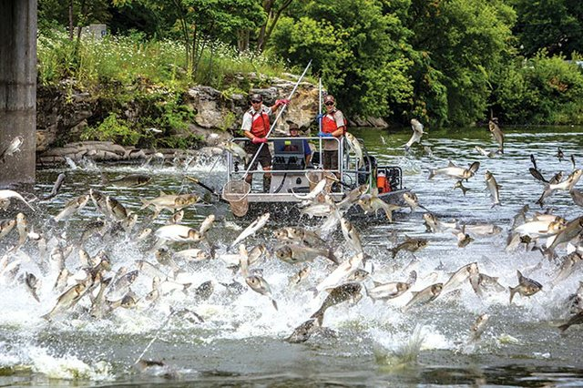 Silver-carp-jumping-in-the-Fox-River_Ryan-Hagerty_USFWS.jpg