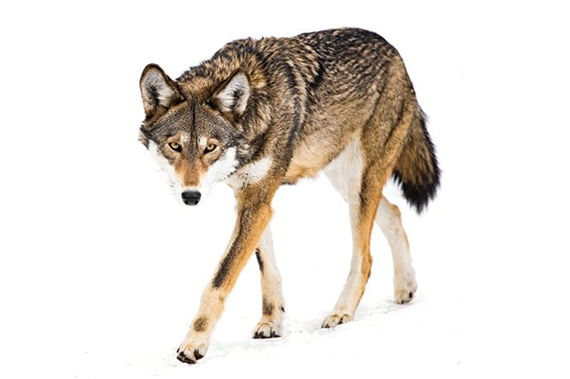 red-wolf2.jpg