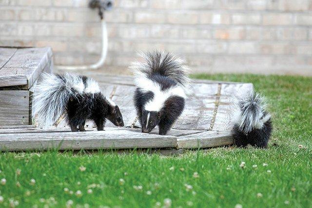 Creature-Skunk.jpg