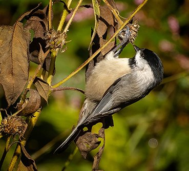 Chickadee 2 - photo by Mike Blevins.jpg