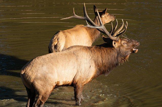 Buchanan-County-Bull-Elk_MCR-063_2X0A1031.jpg