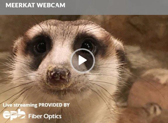 Meerkat-webcam.jpg