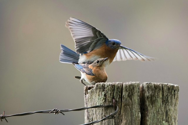 bluebirds041719.jpg