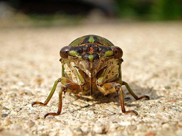 Cicada - Brian Malow, sciencecomedian.com.jpg