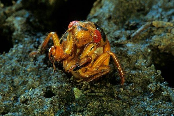 Periodic-Cicada.jpg