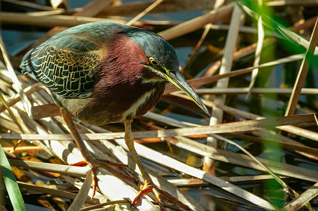 Green-Heron---photo-by-Mike-Blevins.jpg