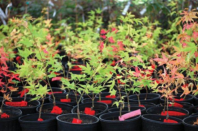 Maples-growing-at-the-nursery.jpg