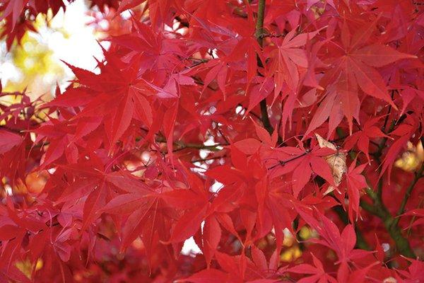 Acer-palmatum-'Osakazuki'-(2).jpg
