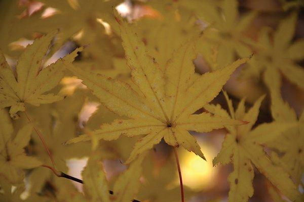 Acer-palmatum-'Peaches-and-Cream'.jpg