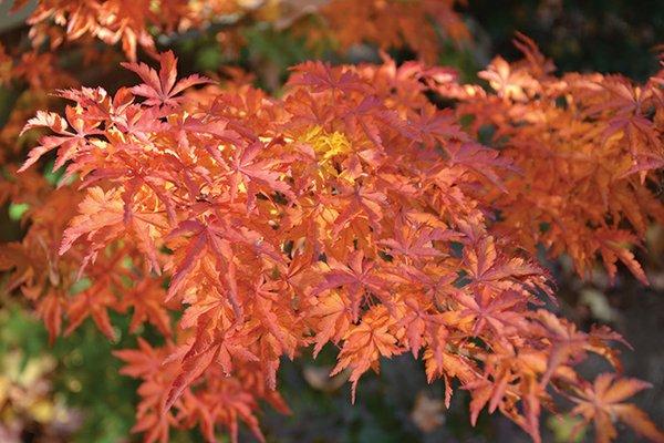 Acer-palmatum-'Shishigashira'.jpg