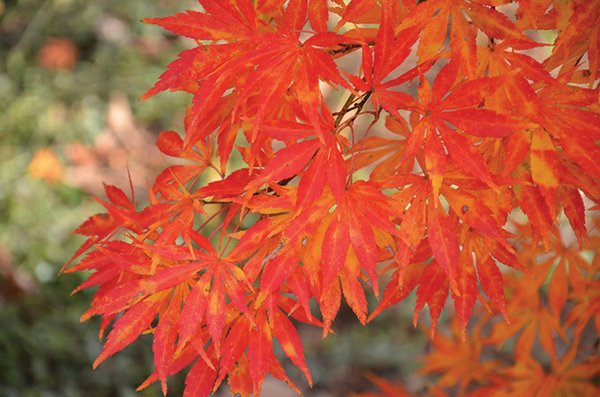 Acer-palmatum-'Shiraname'-in-fall-color-(up-close).jpg