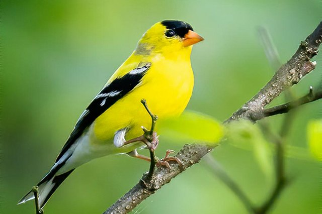 American-Goldfinch-5---photo-by-Mike-Blevins.jpg