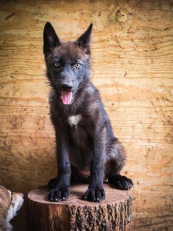 Wolf-Puppies-20140622-257.jpg