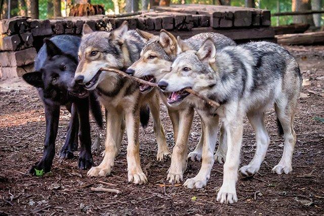 Wolf-Puppies-20140813-116-Edit-Edit.jpg