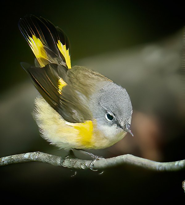American-Redstart---female---photo-by-Mike-Blevins.jpg