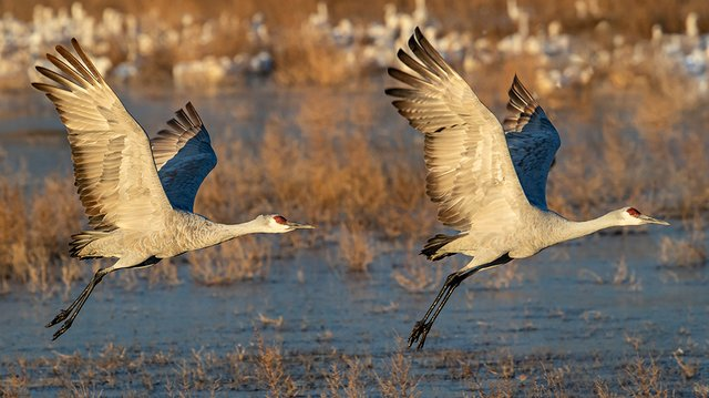 Sandhill-Cranes-2---photo-by-KS-Nature-Photography-(2).jpg