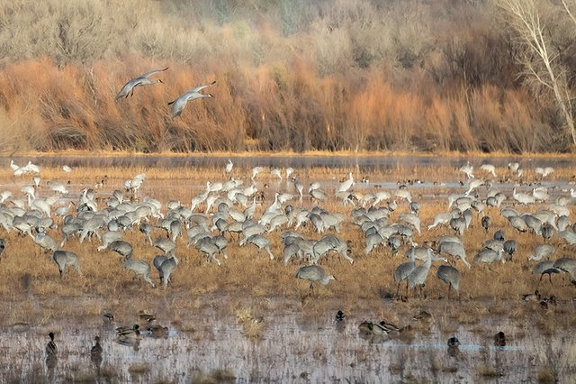 Sandhill-Cranes---photo-by-KS-Nature-Photography-(2).jpg