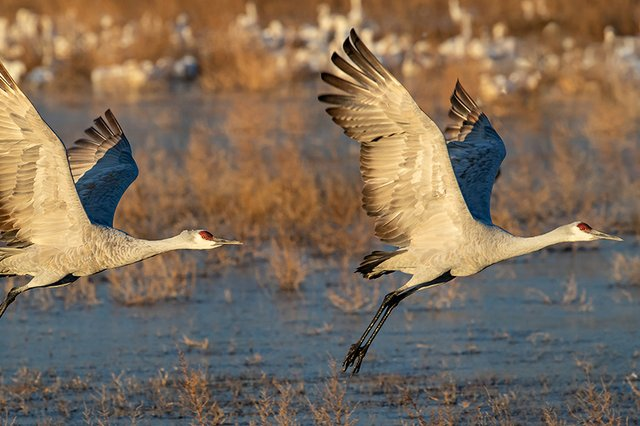 Sandhill-Cranes-2---photo-by-KS-Nature-Photography-TB.jpg